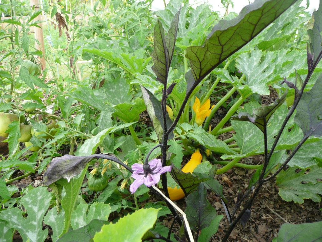 Petite jungle légumière, avec fleur d'aubergine variété