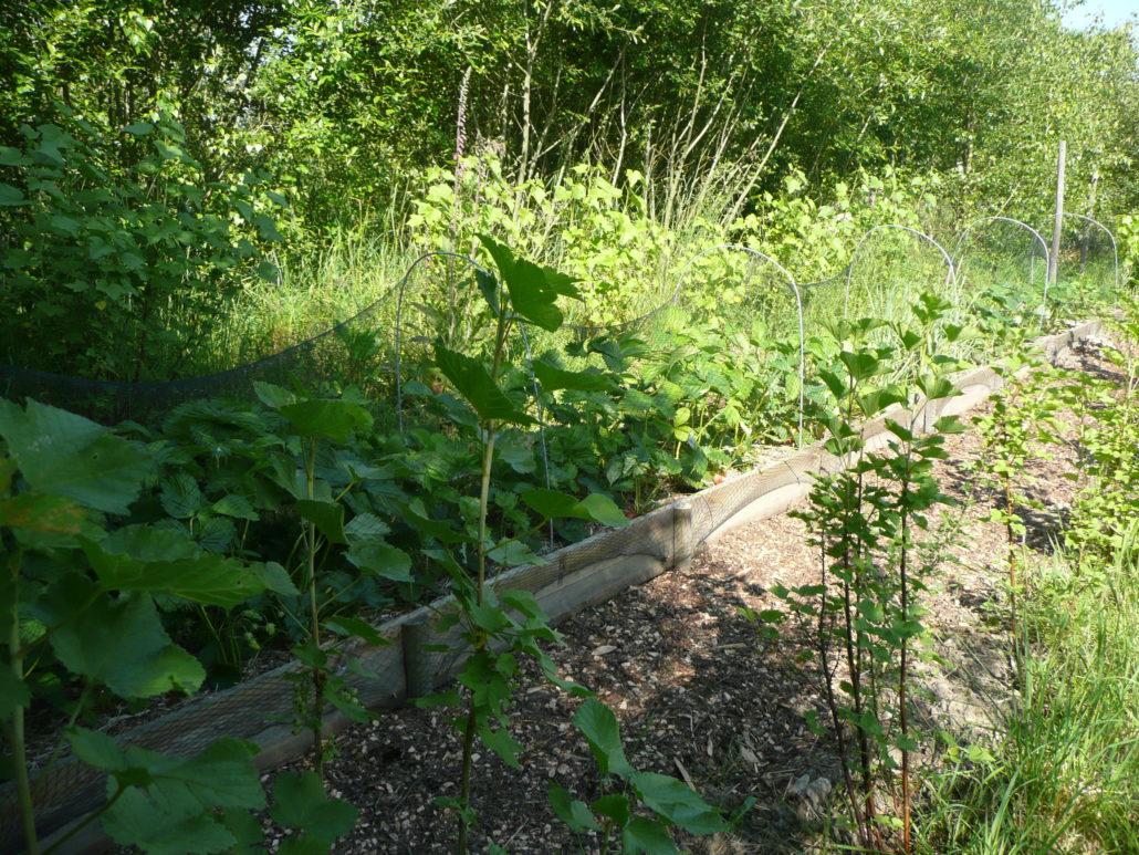 Groseillers, fraisiers sur ados (avec filet de protection pour les oiseaux) et cassissiers avec litière de surface composée de BRF (Bois Raméal Fragmenté)